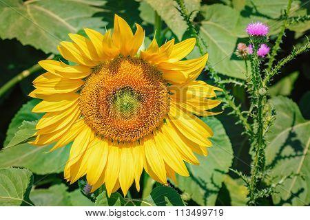 Sunflower And Plumeless Thistles