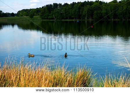 Two Ducks In The Lake, Forest On The Bakground