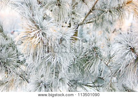 the branches of pine in frost
