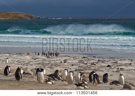 Penguin Beach - Falkland Islands