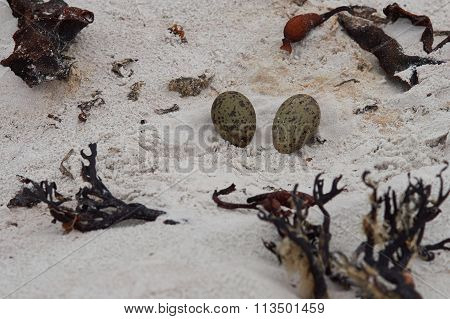 Nest of Magellanic Oystercatcher