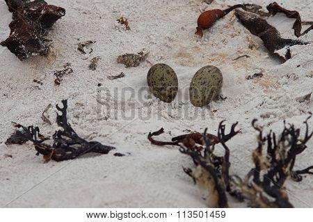 Nest of Magellanic Oystercatcher