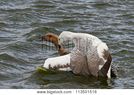 Upland Geese Mating