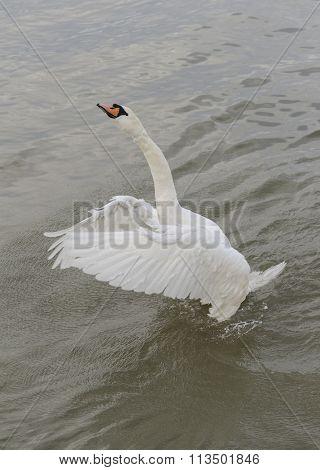 Mute swan standing up