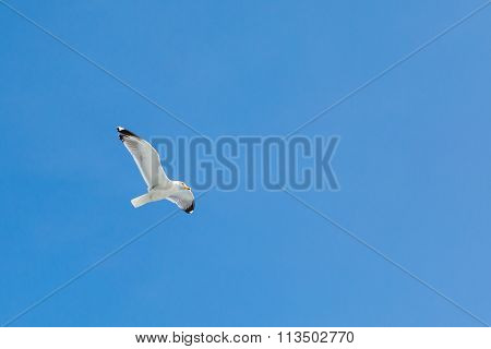Fish seagull flying in the blue sky. Place for text