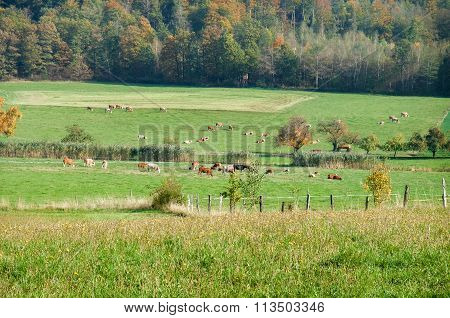 Rural Scenery With Cattle