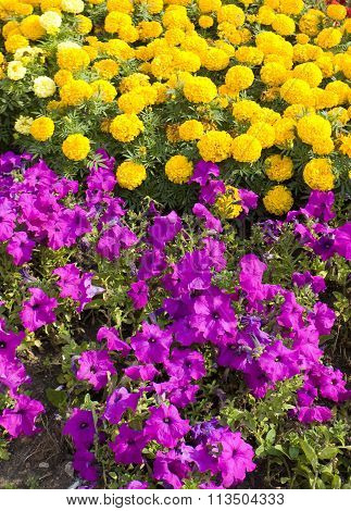 Yellow Marigolds And Violet Petunia