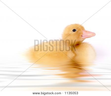 stock photo of a swimming baby duck