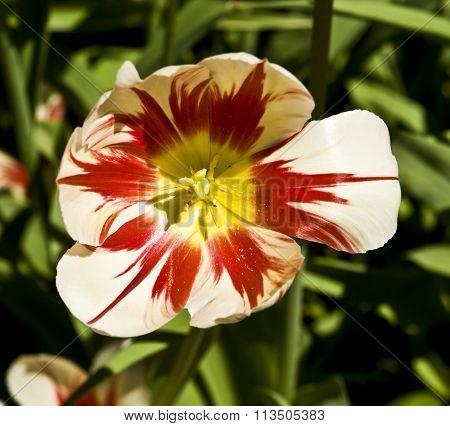 White-red Tulip