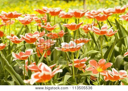 Red Tulips With White