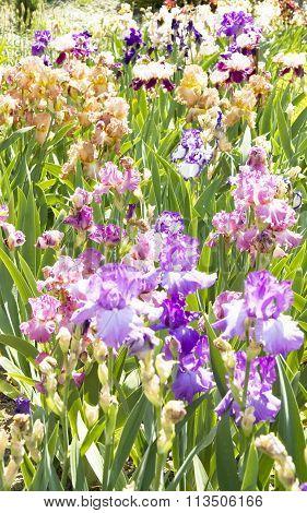Flowerbed With Irises