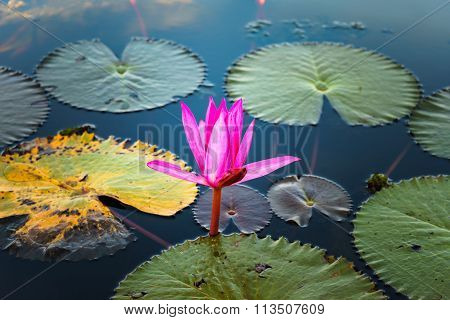 Pink Lotus In Lake With Reflection In Water