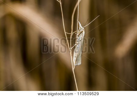 Satin grass veneer (Crambus perlella)