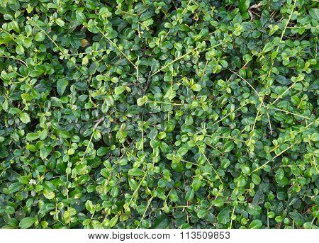 Trimmed Bush Texture