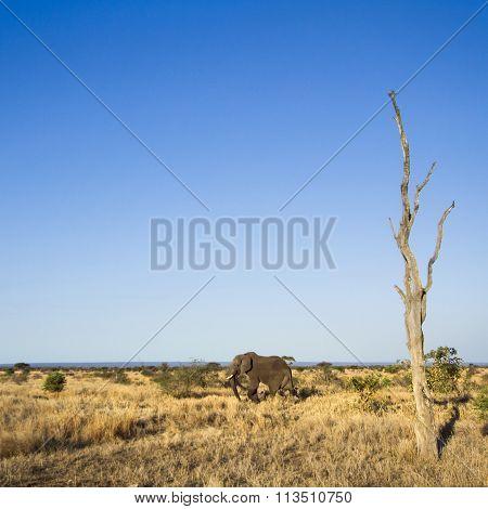 African Bush Elephant In Kruger National Park