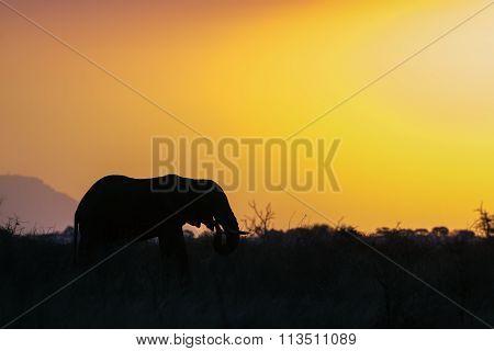 African Bush Elephant on sunset In Kruger National Park