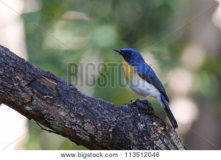 The Tickell's Blue Flycatcher (Cyornis tickelliae) Thailand.