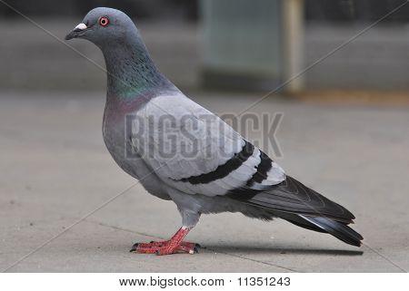 Porträt einer Taube