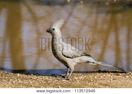 Grey Go-away Bird In Kruger National Park