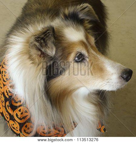 A Sable Merle Shetland Sheepdog On Halloween