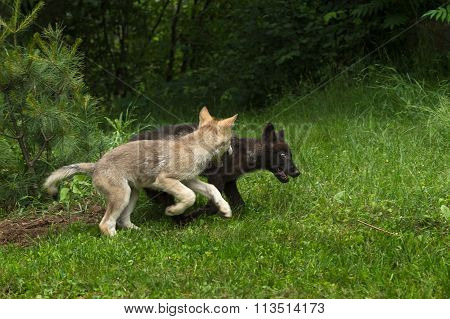 Two Grey Wolf Pups (canis Lupus) Play Chase