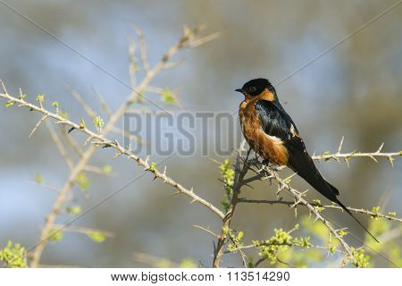 Rufous-chested Swallow In Kruger National Park