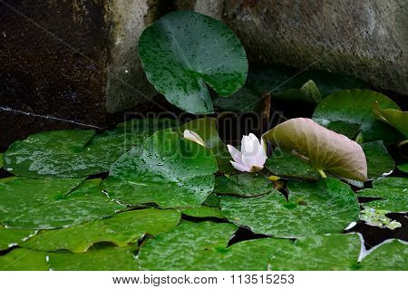 Water Lily In The Fountain