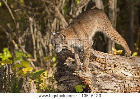 Bobcat (lynx Rufus) Preps To Jump Off Log