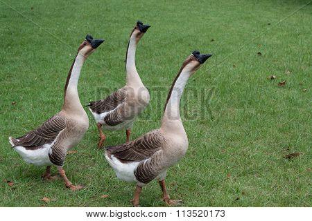 goose farm in Thailand