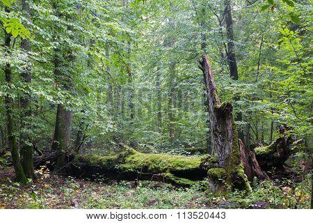 Big Old Hornbeam Broken Moss Wrapped