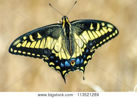 Beautiful Swallowtail