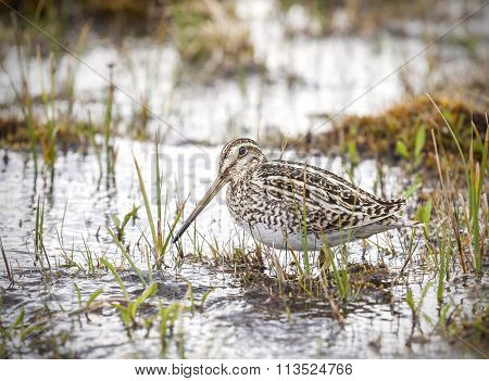 Wading Bird In Natural Environment, Chile.