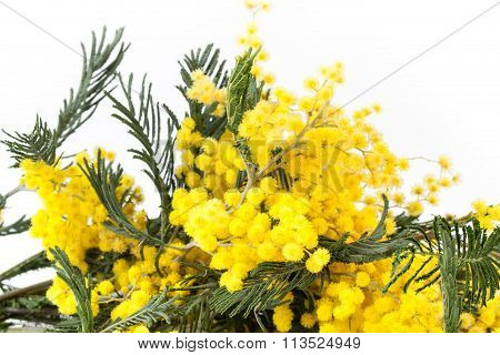 Mimosa Branches