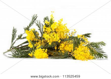 Branches Of Mimosa In Bloom