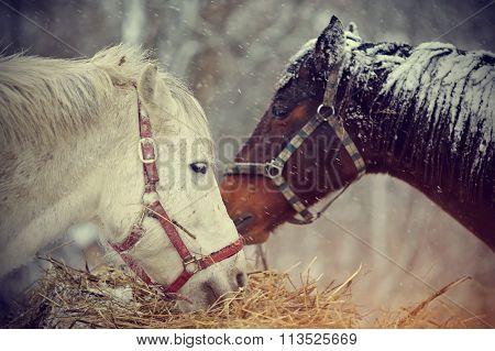 Wet Horses Eat Hay Under Snow.