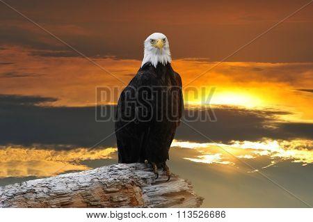 Alaska Bald Eagle At Sunset