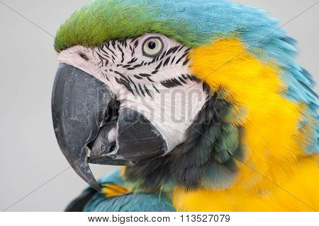 Macaw Parrot Head Close-up
