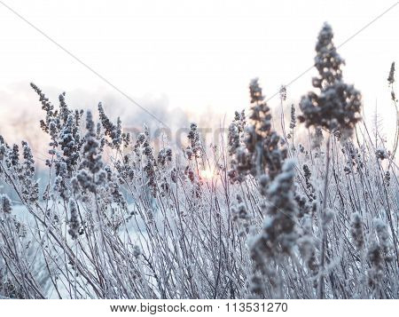 winter background. spikelets covered with frost