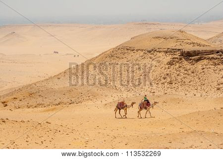 Camels In The Egyptian Desert