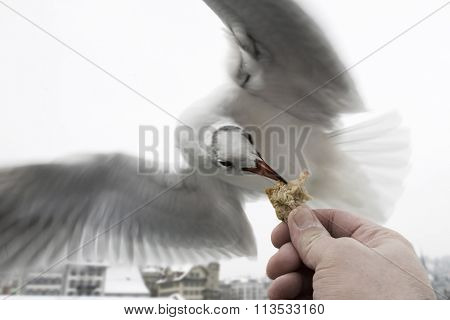 Feeding flying bird