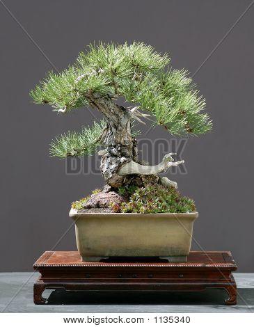 Austrian Black Pine Bonsai