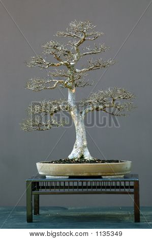 Chinese Elm Bonsai In Winter