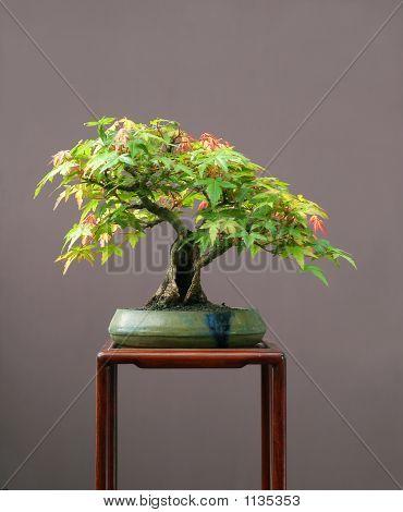 Japansese Maple Bonsai N Summer
