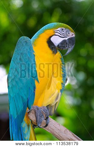 Macaw Parrot Standing On Branch