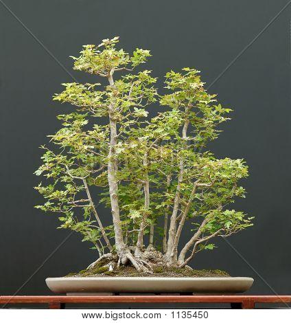 European Field Maple Group Bonsai