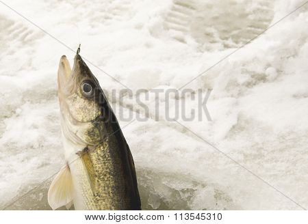 Catching A Walleye Ice Fishing