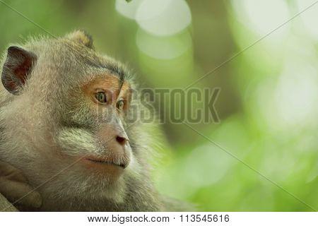 Wild Monkey Face Jungle Wildlife Green Background