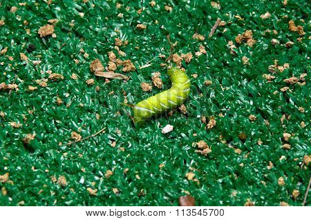 Horned Tomato Worm