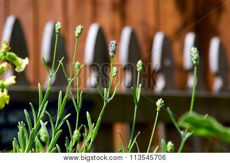Row Of Small Lavender Flowers