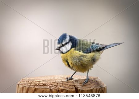 Nice tit with blue head perched on a wooden post